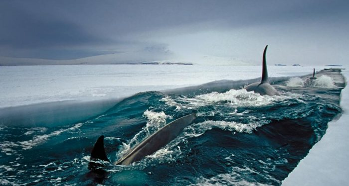 Orca whales in McMurdo Sound, Antarctica