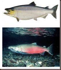 chinook_salmon