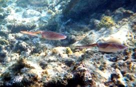 squid copy